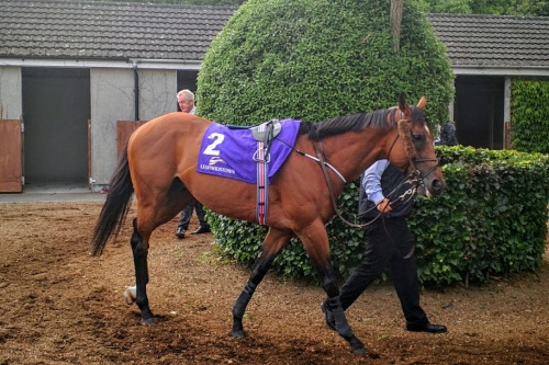 Cougar Mountain in the per parade ring at Leopardstown